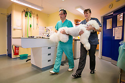 Nurse and surgeon carry a sedated standard poodle after keyhole surgery at Rushcliffe Veterinary Surgery, Nottingham, UK.