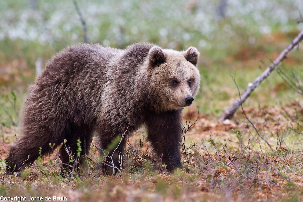 An Eurasian Brown Bear Cub is walking in a swamp in Finland.
