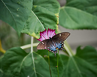 Intermediate Dark Female Tiger Swallowtail Butterfly on a Zinnia Flower. Image taken with a Nikon D5 camera and 200-500 mm f/5.6 lens.