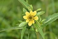 Nodding Bur-marigold - Bidens cernua