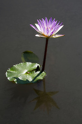 Water Lily, Purple #11