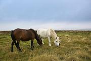 Two ponies grazing on the moor, Dartmoor, Devon,  United Kingdom