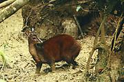 Red Brocket Deer<br />Mazama americana<br />Manu National Park.  Amazon Rain Forest<br />PERU.  South America