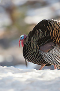 Stock Photo of Wild Turkey Captured in Colorado.  Benjamin Franklin preferred the turkey as the national bird of the United States.