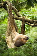 Portrait of a southern two-toed sloth (Choloepus didactylus). captive. Range: Tropical forests of Central America and northern South America. Please note: A small metal hook was digitally removed from the vine in the foreground.