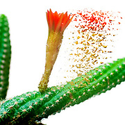 Digitally enhanced image of a flowering Peanut Cactus (Echinopsis chamaecereus) Cactus with red and orange flower