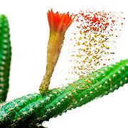 Digitally enhanced image of a flowering Peanut Cactus (Echinopsis chamaecereus) Cactus with red and orange flower