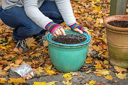 Planting tulips in a pot and covering with chicken wire to protect from squirrel damage.