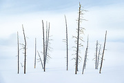 Dead trees in snow at the Lower Geyser Basin of Yellowstone