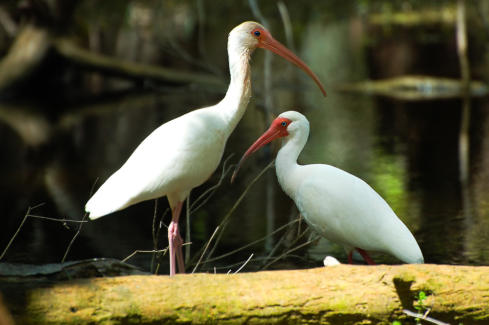 A pair if white ibises search the shallows of the Sweetwater Strand for aquatic insects and other invertebrates in SW Florida's Big Cypress National Preserve.