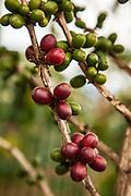 Coffee beans ripen on tree, Goroka, Eastern Highlands, Papua New Guinea