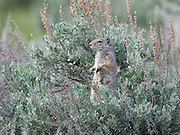 A ground squirrel uses a sage bush for a better view of the Lamar Valley, Yellowstone National Park, Wyoming.