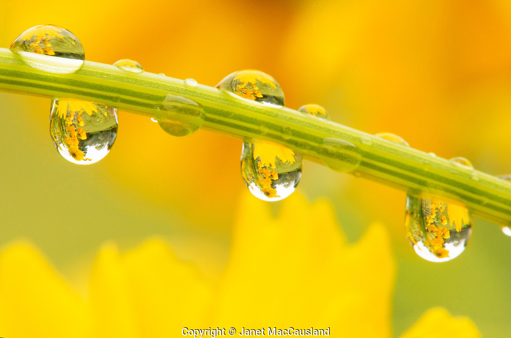 """""""Coreopsis in Rain"""" was awarded an Honorable Mention in the 2021 Pembroke Art Association annual show. I was told by the curator it would have scored much higher had she seen the original...."""