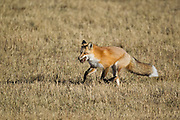 Red Fox (Vulpes fulva)