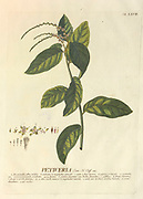Coloured Copperplate engraving of a Petiveria alliacea plant from hortus nitidissimus by Christoph Jakob Trew (Nuremberg 1750-1792)