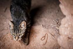 Cat running through ancient ksar (old city) of Aït Benhaddou, Morocco