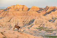 June is a great time of year to see baby bighorn sheep (lambs) at Badlands National Park. They are very agile and it's fun to watch them dash around the steep terrain.