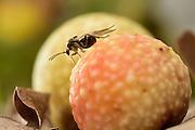 The Biosphere Reserve 'Niedersächsische Elbtalaue' (Lower Saxonian Elbe Valley), Germany | Die Gallen der Gemeinen Eichengallwespe (Cynips quercusfolii)  fallen im Herbst mit den Blättern zu Boden. Dort schlüpft dann aus jeder Galle jeweils eine weibliche Wespe (dies ist die eingschlechtliche Generation). Diese Weibchen legen dann an einer Eichenknospe die Eier für die kommende bisexuelle Genaration, aus der dann im Mai männliche und weibliche Tiere schlüpfen. Die begatteten Weibchen legen später auf Blättern wieder Eier, die dann die hier gezeigte Galle noch im selben Jahr entstehen lassen.