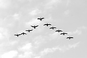 Great cormorants (Phalacrocorax carbo sinensis) flying in formation in Hong Kong, China.