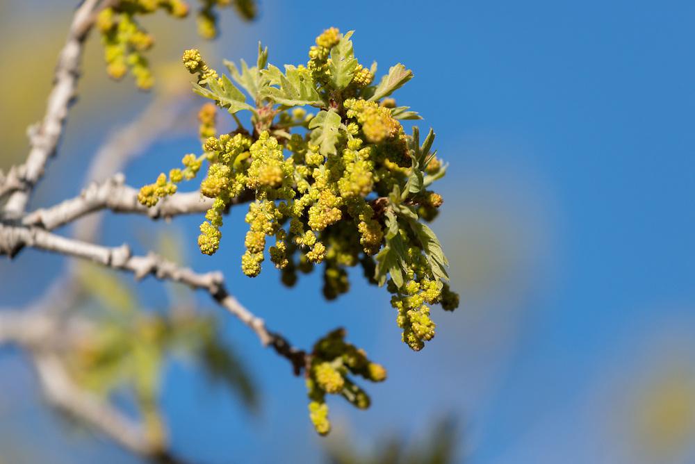 Oak tree with catkins, Southern Utah.