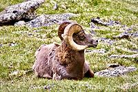 Bighorn sheep ram in RMNP