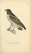 Buteo Pterocles - White-tailed Hawk from volume XIII (Aves) Part 2, of 'General Zoology or Systematic Natural History' by British naturalist George Shaw (1751-1813). Griffith, Mrs., engraver. Heath, Charles, 1785-1848, engraver. Stephens, James Francis, 1792-1853 Published in London in 1825 by G. Kearsley