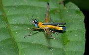 Airplane grasshopper, Eumastax vittata, from La Selva, Ecuador.