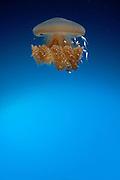 Rhizostome Jellyfish, Thysanostoma thysanura, with the appearance of an alien orbiting a gas planet. Tulamben, Bali