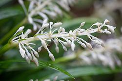 Flowers of Ophiopogon jaburan 'Vittatus. Lilyturf