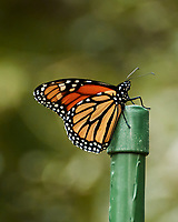 Monarch resting on a post. Image taken with a Nikon 1 V3 camera and 70-300 mm VR lens.