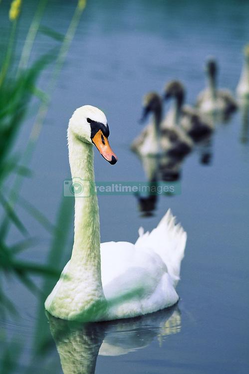 July 21, 2019 - Ireland, Swan And Cygnets (Credit Image: © The Irish Image Collection/Design Pics via ZUMA Wire)