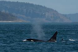 Orca whale in Haro Strait off San Juan Island, Washington, US