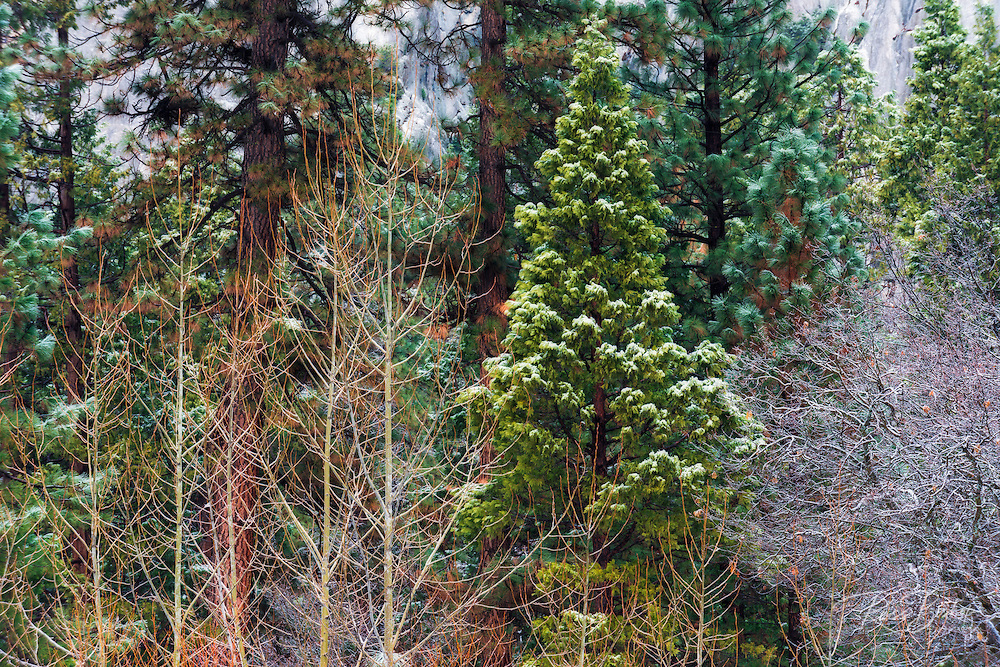 Mixed forest in winter, Yosemite Valley, Yosemite National Park, California