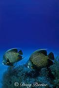 French angelfish, <br /> Pomacanthus paru, mated pair<br /> Bahamas ( Western Atlantic Ocean )