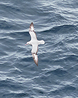 Southern Fulmar (Fulmarus glacialoides). At Sea from the deck of the Hurtigruten MS Fram off the Antarctic Peninsula. Image taken with a Fuji X-T1 camera and 60 mm f/2.4 macro lens.