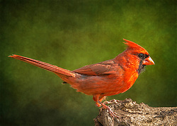 A Male Northern Cardinal Perched On The Edge Of An Old Log Backed By Bold Green Texture
