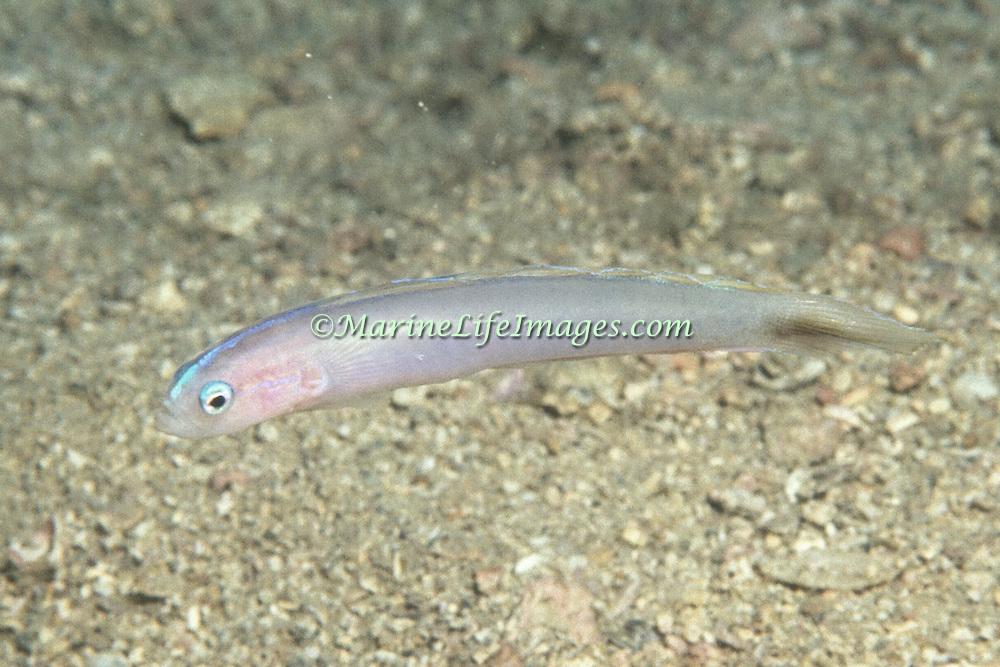 Bluestripe Dartfish hover above burrow in sand in SE Caribbean from St. Vincent to Venzeula; picture taken Margareta Is, Venezuela.