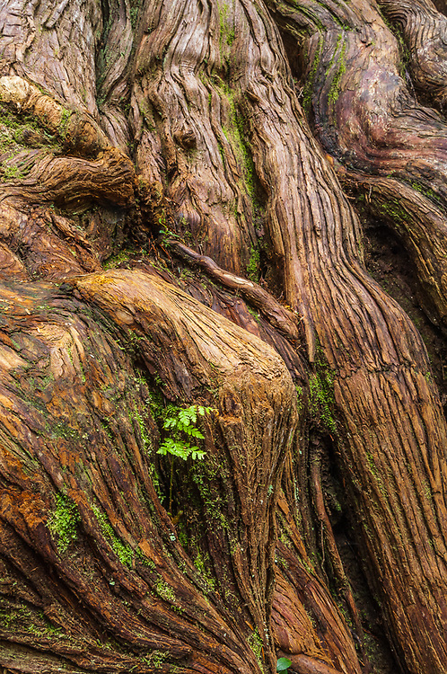 Western red cedar (Thuja plicata) and fern, old growth temperate rain forest, Olympic National Park, Washington, USA