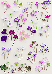 Hepatica flowers at Ashwood Nurseries laid out on a white background.