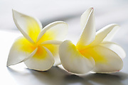 Plumeria is a genus of flowering plants in the family Apocynaceae. Most species are deciduous shrubs or small trees. The species variously are endemic to Mexico, Central America and the Caribbean, and as far south as Brazil and north as Florida, but are grown as cosmopolitan ornamentals in warm regions. Common names include frangipani or variations on that theme.