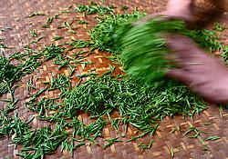 THEMENBILD - Bei der traditionellen Produktion von Schwarztee, orthodoxe Teeproduktion genannt, durchlaufen die Teeblätter fünf Stufen: das Welken (Withering), damit die Blätter weich und zart werden, das Rollen (Rolling), das Aussieben, die Oxidation und zum Schluss die Trocknung (Firing). Um die Blätter nach dem Pflücken zu erweichen, wurden sie früher zwei Stunden in die Sonne gelegt. Später verwendete man Welkhürden in speziellen Hallen, in denen eine Temperatur von 20 bis 22 °C herrschte. Der Welkprozess dauerte dann bis zu 24 Stunden. Heute werden meistens so genannte Welktunnel eingesetzt, die die Teeblätter auf Fließbändern durchlaufen. Die Stärke der Welkung wirkt sich (im umgekehrten Verhältnis) auf den Grad der später erzielbaren Oxidation aus. Aufgenommen in Zhongcunba am 7. April 2016 // A worker rolls tea leaves after stirring them in a cooking pot at high temperature in Zhongcunba Village of Xuan'en County, central China's Hubei Province, April 7, 2016. EXPA Pictures © 2016, PhotoCredit: EXPA/ Photoshot/ Song Wen<br /> <br /> *****ATTENTION - for AUT, SLO, CRO, SRB, BIH, MAZ, SUI only*****