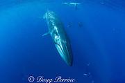 Bryde's whale, Balaenoptera brydei or Balaenoptera edeni, striped marlin, Tetrapturus audax, and California sea lions, Zalophus californianus, off Baja California, Mexico ( Eastern Pacific Ocean ) (dm)