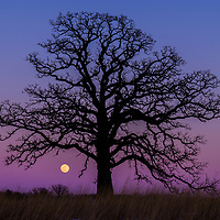 A full moon rises over a 300 year old Burr Oak tree