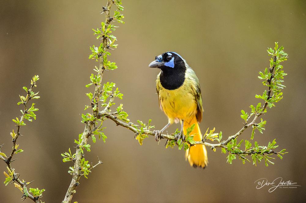 Green Jay (Cyanocorax yncas), Santa Clara Ranch, Starr County, Texas, USA