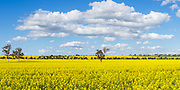 trees on hill overlooking canola crop under clouds near Erin vale, New South Wales, Australia. <br />