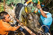 08 FEBRUARY 2014 - PHAWONG, SONGKHLA, THAILAND: Owners of a fighting bull clean up their bull after a bullfight in rural Songkhla province, Thailand. The bull won its fight. Bullfighting is a popular past time in southern Thailand. Hat Yai is the center of Thailand's bullfighting culture. In Thai bullfights, two bulls are placed in an arena and they fight, usually by head butting each other, until one runs away or time is called. Huge amounts of mony are wagered on Thai bullfights - sometimes as much as 2,000,000 Thai Baht ($65,000 US).   PHOTO BY JACK KURTZ