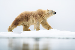 polar bear (Ursus maritimus) on drifting sea ice in northeastern parts of Svalbard, Norway
