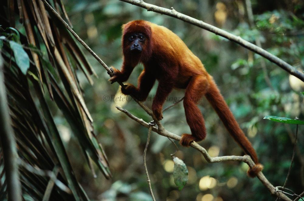 Red Howler Monkey<br />Alouatta seniculus<br />Madre de Dios, Amazon Rain Forest, PERU  South America<br />RANGE: East of Andes, Colomibia, Venezuela, Guianas, Trinidad, Ecuador, Peru, Bolivia & Brazil