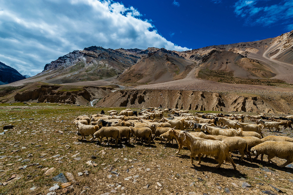 Herd of sheep and goats, Leh-Manali Highway, Himachal Pradesh, India.