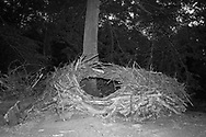 BELGIUM, Brussels. 14/05/2020: Precarious architecture contstruction in the Sonian Forest. Unlike the other constructions, this one was not made by children but by adults and was used as a meeting place to play cards and drink beer during the Covis-19 confinement.